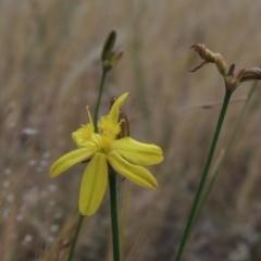 Tricoryne elatior (Yellow Rush Lily) at Conder, ACT - 11 Nov 2014 by michaelb
