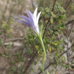 Wahlenbergia stricta subsp. stricta (Tall Bluebell) at Tennent, ACT - 11 Nov 2014 by michaelb
