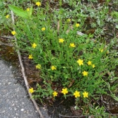 Hypericum gramineum (Small St Johns Wort) at Tidbinbilla Nature Reserve - 5 Dec 2014 by galah681