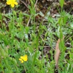 Hypericum gramineum at Tidbinbilla Nature Reserve - 6 Dec 2014