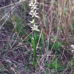 Wurmbea dioica subsp. dioica (Early Nancy) at Conder, ACT - 6 Oct 2000 by michaelb
