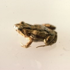 Crinia signifera (Common Eastern Froglet) at Durran Durra, NSW - 27 Jan 1976 by wombey