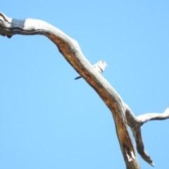 Taeniopygia bichenovii (Double-barred Finch) at Duffy, ACT - 26 Mar 2016 by RyuCallaway