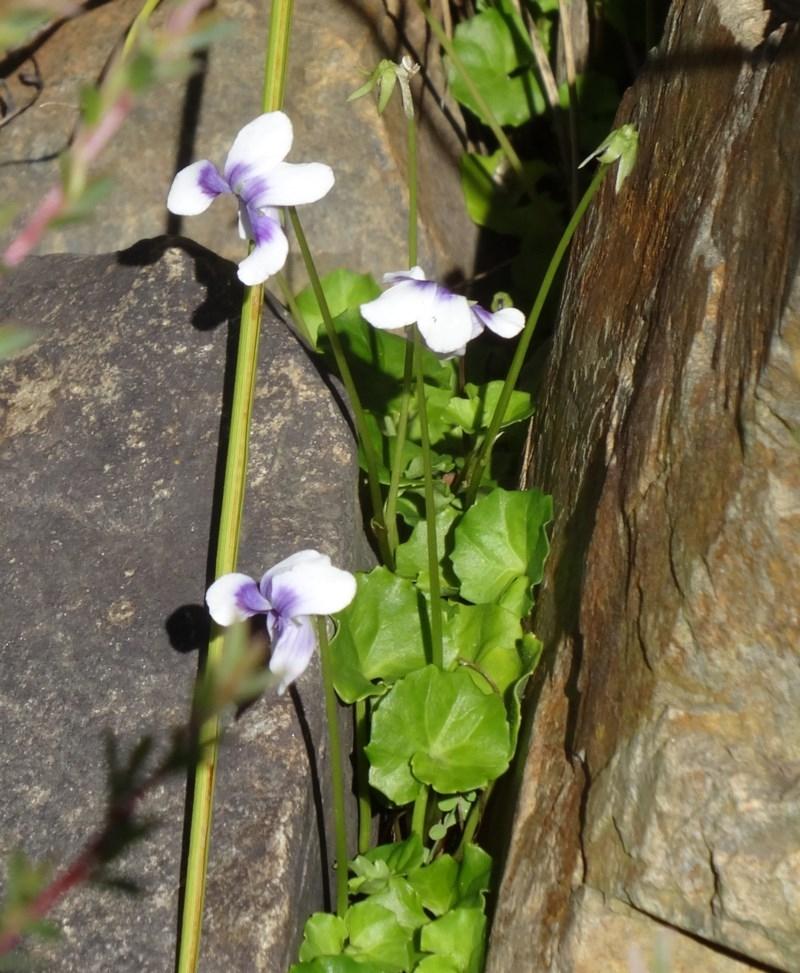 Viola hederacea at Tidbinbilla Nature Reserve - 15 Jan 2015