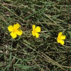 Eschscholzia californica (California Poppy) at Point Hut to Tharwa - 15 Jan 2015 by galah681