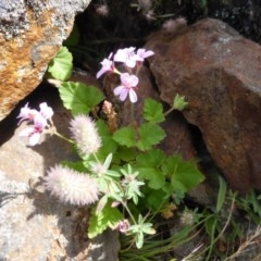Pelargonium inodorum (A Pelargonium) at Namadgi National Park - 24 Jan 2015 by RobynHall