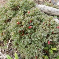 Astroloma humifusum (Cranberry heath) at Mount Mugga Mugga - 20 Jan 2015 by Mike