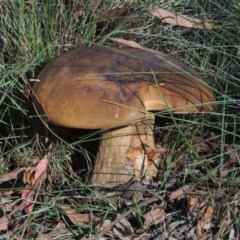 Phlebopus marginatus (Giant Bolete) at Tidbinbilla Nature Reserve - 25 Jan 2015 by michaelb