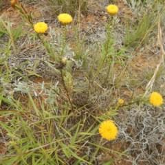 Rutidosis leptorhynchoides (Button wrinklewort) at Jerrabomberra, ACT - 27 Jan 2015 by MichaelMulvaney