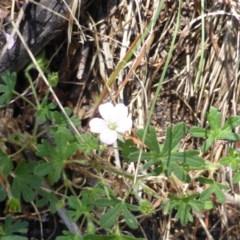 Geranium solanderi var. solanderi (Native Geranium) at Isaacs Ridge and Nearby - 24 Jan 2015 by Mike
