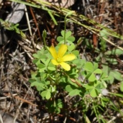 Oxalis sp. (Wood Sorrel) at Isaacs Ridge and Nearby - 24 Jan 2015 by Mike