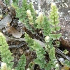 Cheilanthes distans (Bristly cloak fern) at Wanniassa Hill - 29 Jan 2015 by julielindner