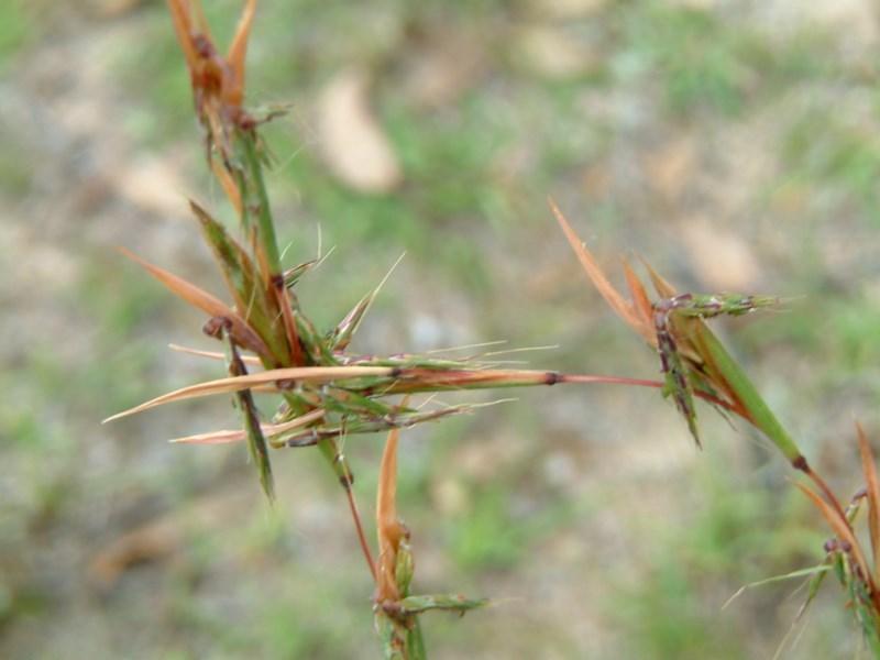 Cymbopogon refractus at Wanniassa Hill - 30 Jan 2015