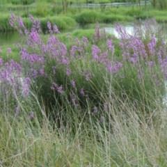 Lythrum salicaria (Purple Loosestrife) at Jerrabomberra Wetlands - 14 Jan 2015 by michaelb
