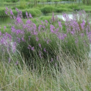 Lythrum salicaria at Jerrabomberra Wetlands - 14 Jan 2015