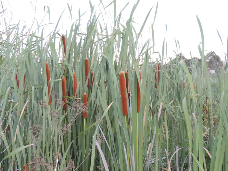 Typha orientalis at Jerrabomberra Wetlands - 14 Jan 2015