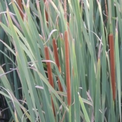 Typha domingensis (Narrow-leaved Cumbungee) at Jerrabomberra Wetlands - 14 Jan 2015 by michaelb