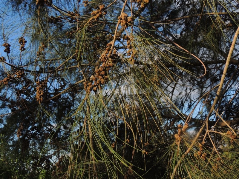 Casuarina cunninghamiana subsp. cunninghamiana at Jerrabomberra Wetlands - 14 Jan 2015