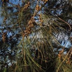 Casuarina cunninghamiana subsp. cunninghamiana (River She-oak, River Oak) at Jerrabomberra Wetlands - 14 Jan 2015 by michaelb