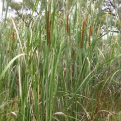 Typha domingensis (Narrow-leaved Cumbungee) at Mount Mugga Mugga - 25 Jan 2015 by Mike