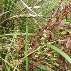 Rumex conglomeratus (Clustered Dock) at Mount Mugga Mugga - 25 Jan 2015 by Mike