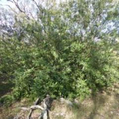 Olea europaea subsp. cuspidata (African Olive) at Mount Mugga Mugga - 26 Jan 2015 by Mike