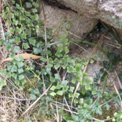 Asplenium flabellifolium (Necklace fern) at Isaacs Ridge and Nearby - 28 Jan 2015 by Mike