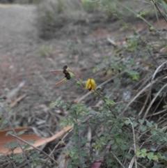 Bossiaea buxifolia (Bush Pea) at Mount Ainslie - 13 Feb 2015 by SilkeSma