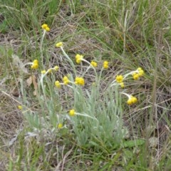 Chrysocephalum apiculatum (Common Everlasting) at Callum Brae - 20 Oct 2014 by Mike