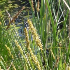 Carex appressa (Tall Sedge) at Mount Mugga Mugga - 18 Oct 2014 by Mike