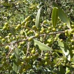 Olea europaea subsp. cuspidata (African Olive) at Mount Mugga Mugga - 10 Oct 2014 by Mike