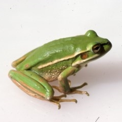 Litoria aurea (Green and Golden Bell Frog) at Durran Durra, NSW - 2 Dec 1975 by wombey
