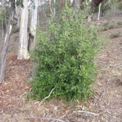 Olea europaea subsp. cuspidata (African Olive) at Mount Majura - 28 Mar 2016 by waltraud