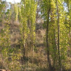 Populus nigra (Lombardy Poplar) at Theodore, ACT - 2 Apr 2016 by michaelb