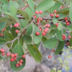 Cotoneaster glaucophyllus (Cotoneaster) at Theodore, ACT - 2 Apr 2016 by michaelb