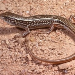 Ctenotus orientalis (Oriental Striped-skink) at Molonglo River Park - 1 Oct 1978 by wombey