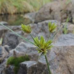 Cyperus eragrostis (Umbrella Sedge) at Theodore, ACT - 2 Apr 2016 by michaelb