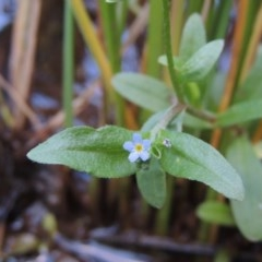Myosotis laxa subsp. caespitosa (Water Forget-me-not) at Theodore, ACT - 2 Apr 2016 by michaelb