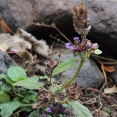 Prunella vulgaris (Self-heal, Heal All) at Theodore, ACT - 2 Apr 2016 by michaelb