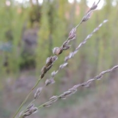 Digitaria brownii (Cotton Panic Grass) at Theodore, ACT - 2 Apr 2016 by michaelb