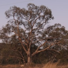 Eucalyptus melliodora (Yellow Box) at Tuggeranong Hill - 2 Apr 2016 by michaelb