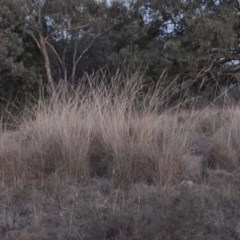Rytidosperma pallidum (Red-anther Wallaby Grass) at Tuggeranong Hill - 2 Apr 2016 by michaelb