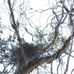 Elanus axillaris (Black-shouldered Kite) at Illilanga & Baroona - 10 Apr 2016 by RyuCallaway