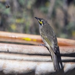 Caligavis chrysops (Yellow-faced Honeyeater) at Higgins, ACT - 2 Apr 2016 by Alison Milton