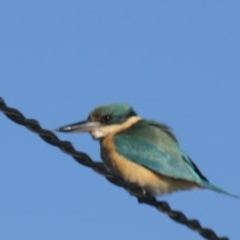 Todiramphus sanctus (Sacred Kingfisher) at Higgins, ACT - 21 Oct 2012 by Alison Milton
