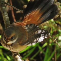 Rhipidura rufifrons (Rufous Fantail) at ANBG - 26 Mar 2015 by JohnBundock