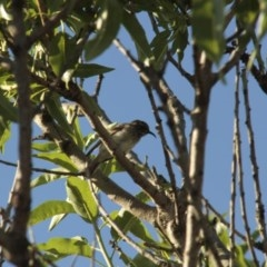 Sugomel niger (Black Honeyeater) at Higgins, ACT - 18 Nov 2013 by Alison Milton