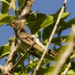 Sugomel niger (Black Honeyeater) at Higgins, ACT - 22 Nov 2013 by Alison Milton