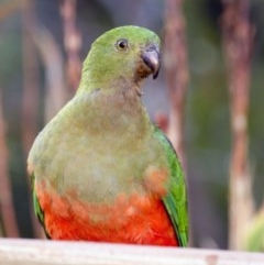 Alisterus scapularis (Australian King-Parrot) at Higgins, ACT - 13 Jan 2016 by Alison Milton