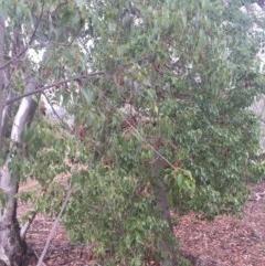 Brachychiton populneus subsp. populneus (Kurrajong) at Mount Majura - 17 Apr 2016 by AaronClausen
